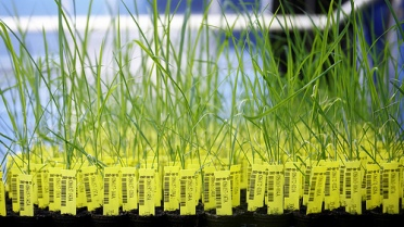 Genetically modified rice plants